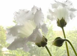 fiori_bianchi